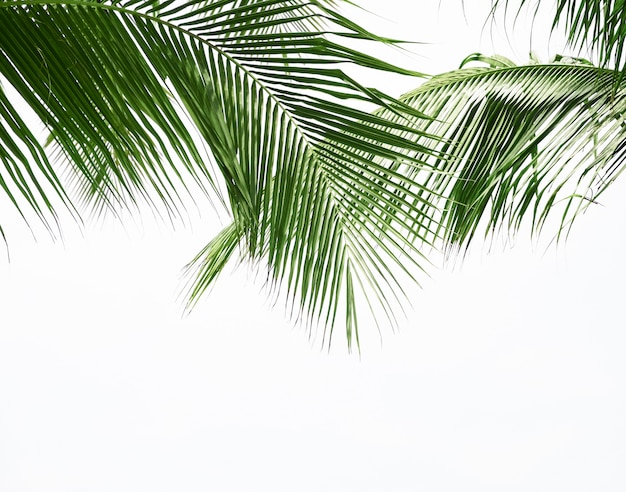 Coconut palm leaf isolated on white background Premium Photo