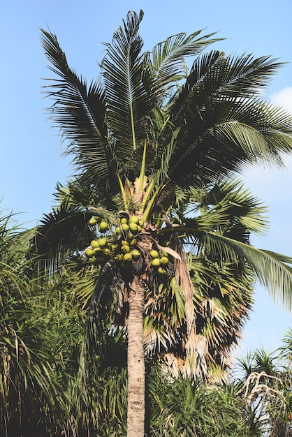 Coconut palm tree and coconut fruit in the tropical garden Premium Photo