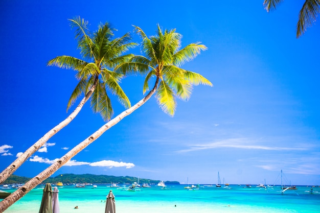 Coconut palm tree on the sandy beach in philippines Premium Photo