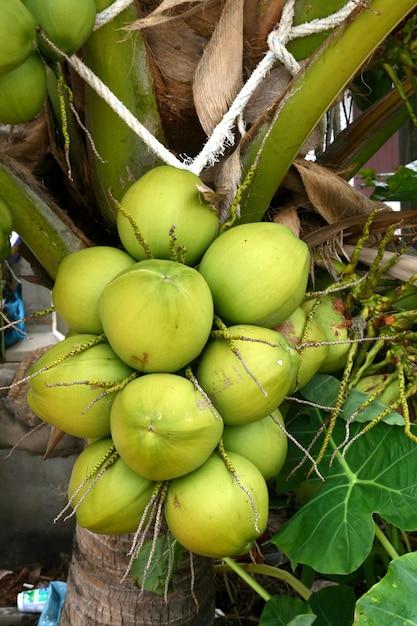 Coconut tree, closeup Premium Photo
