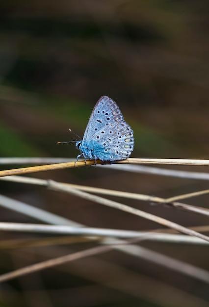 Бабочка ценонимфа в поле в естественной среде обитания Premium Фотографии