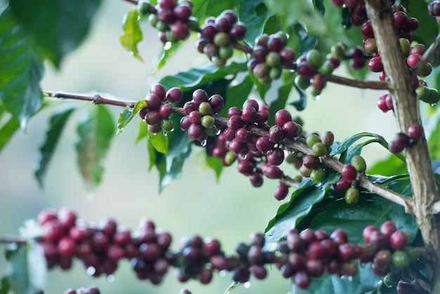 Кофейные зерна на дереве. Premium Фотографии
