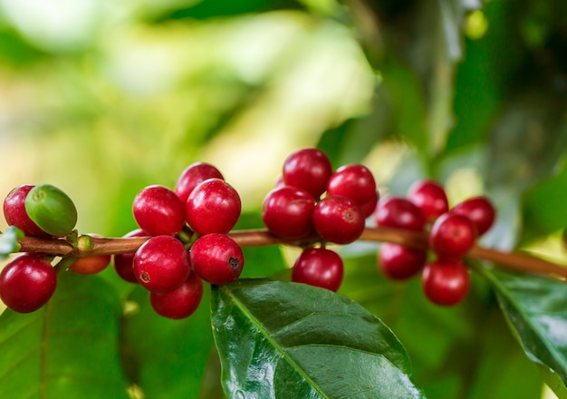 Coffee beans ripening on tree in north of thailand Premium Photo