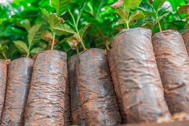 Coffee seedlings Premium Photo