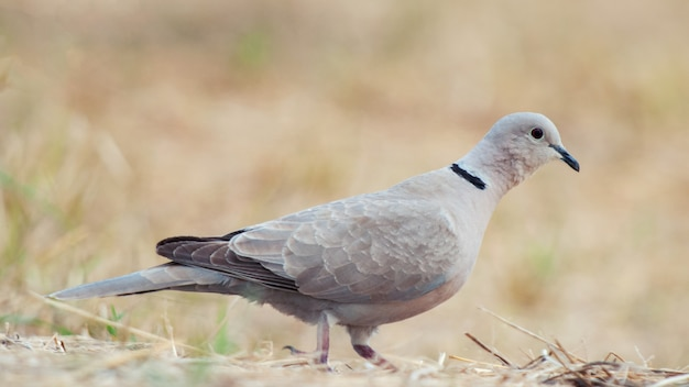 Ошейниковый голубь, streptopelia decaocto, сидит на земле Premium Фотографии