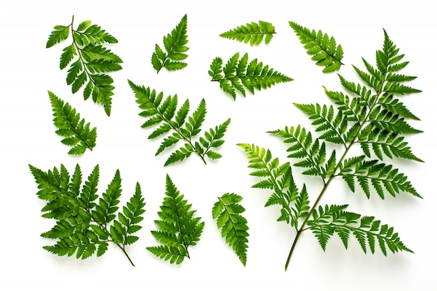 Collection of green fern leaves isolated on white background Premium Photo