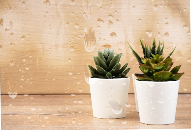 Collection of various cactus and succulent plants behind the rainy glass. Premium Photo