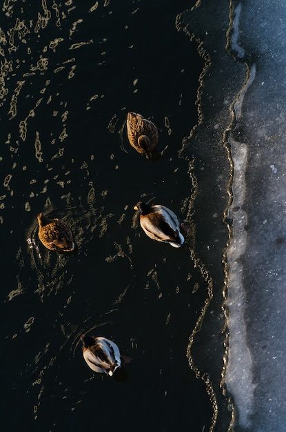 Color photography of ducks walking on snow and their shadows from the top view Premium Photo