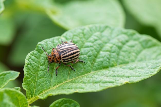 Scarabeo di colorado o insetto di patata sulla foglia verde della pianta di patate Foto Gratuite