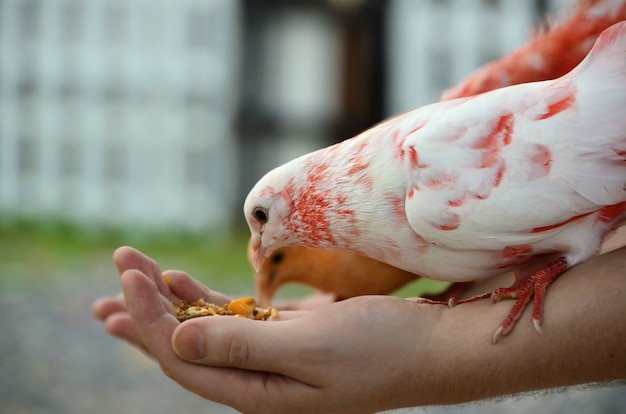 A colored dove eats from human hands. Premium Photo