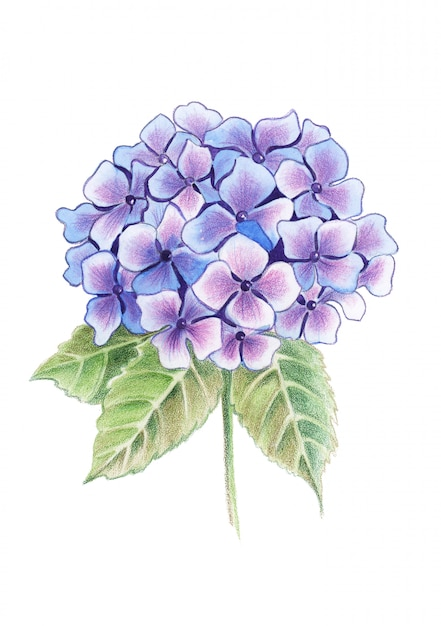 Colored pencils hydrangea flowers in a bouquet Premium Photo