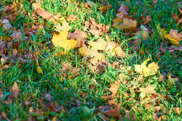 公園の緑の芝生に色とりどりの紅葉 Premium写真