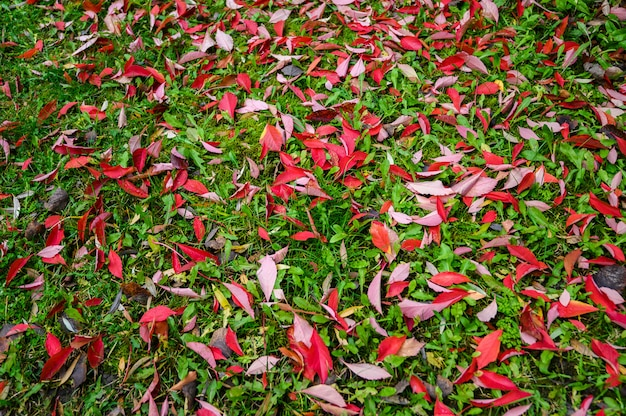 Colorful backround image of fallen autumn red leaves Premium Photo