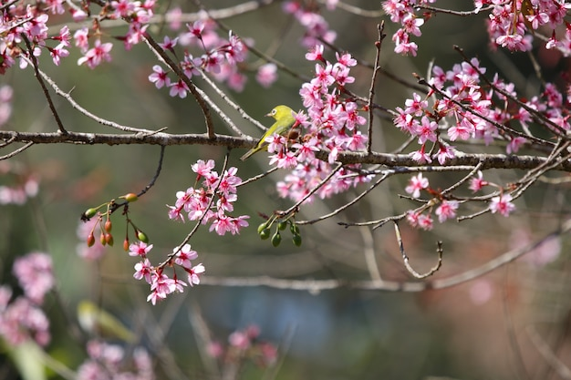 Phu lom loタイで冬の季節の野生のヒマラヤ桜の木にカラフルな鳥 Premium写真
