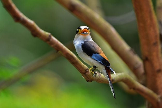 Colorful bird silver-breasted broadbil Premium Photo