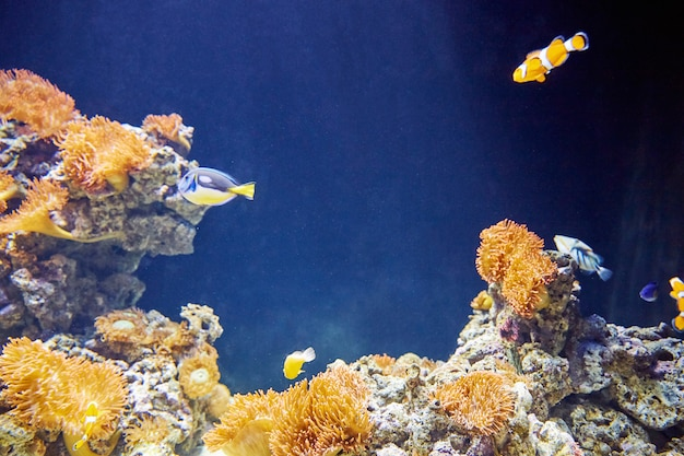 Colorful clown fishes with stones Premium Photo