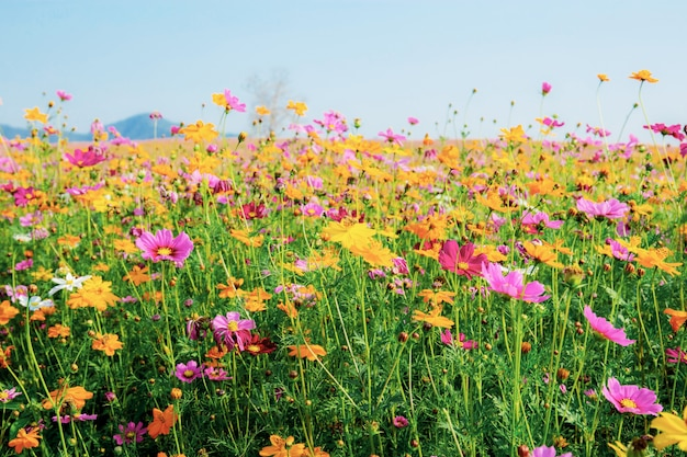 Colorful of cosmos in field. Premium Photo