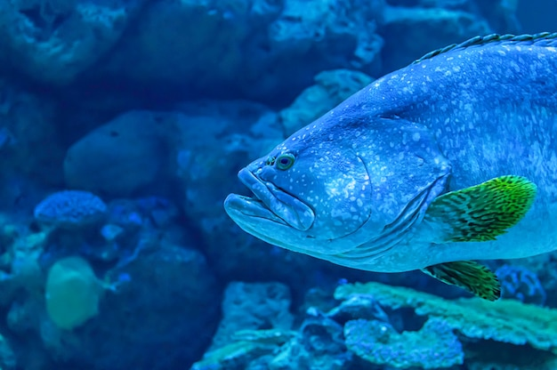 Colorful fish or epinephelus lanceolatus in the sea background the coral , thailand. Premium Photo