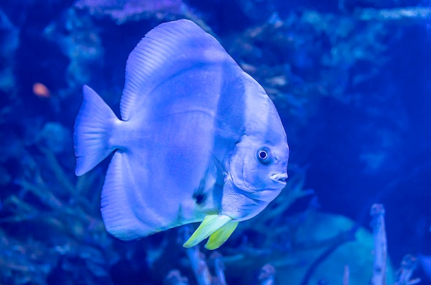 Colorful fish in the sea background the coral , thailand. Premium Photo
