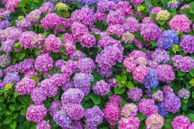 Colorful floral of pastel pink and blue blooming hydrangea flowers Premium Photo