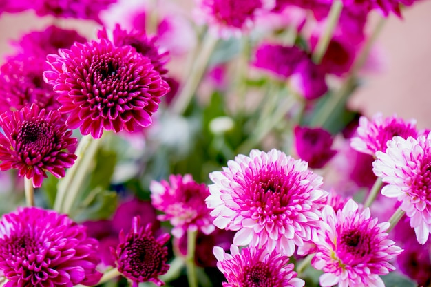 Colorful flowers chrysanthemum for background Premium Photo