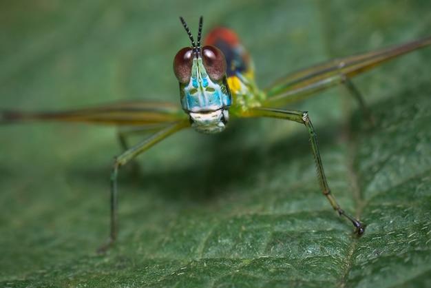 Красочный кузнечик сидит на листе и смотрит в объектив Premium Фотографии