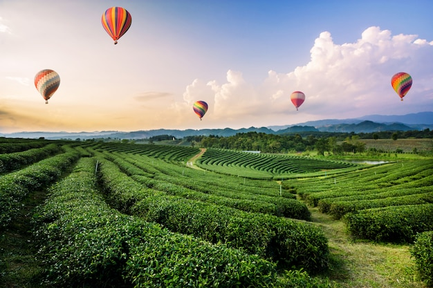 Colorful hot air balloons flying over tea plantation landscape at sunset Premium Photo