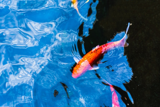 Colorful koi fish swimming in a pond in garden Premium Photo