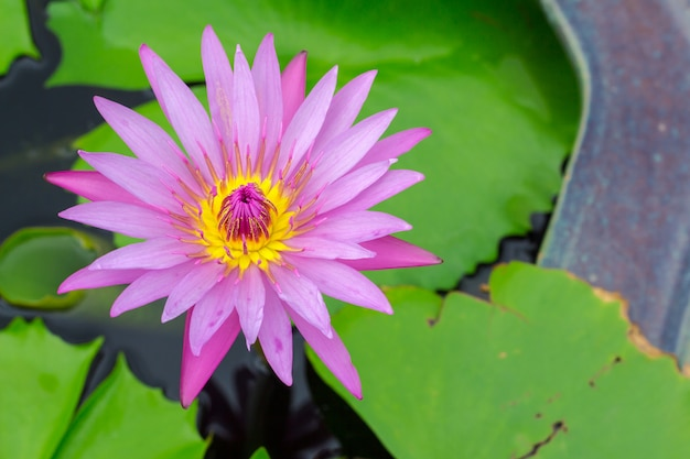 Colorful of a lotus. Premium Photo