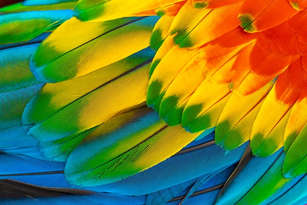 Colorful macaw parrot feathers with red yellow orange blue for nature background Premium Photo