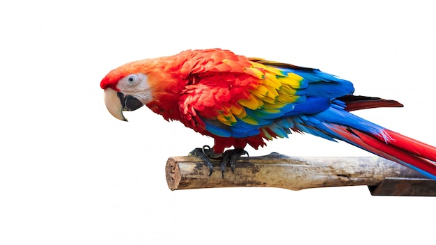 Colorful parrots bird isolated on white background. red and blue marcaw on the branches. Premium Photo