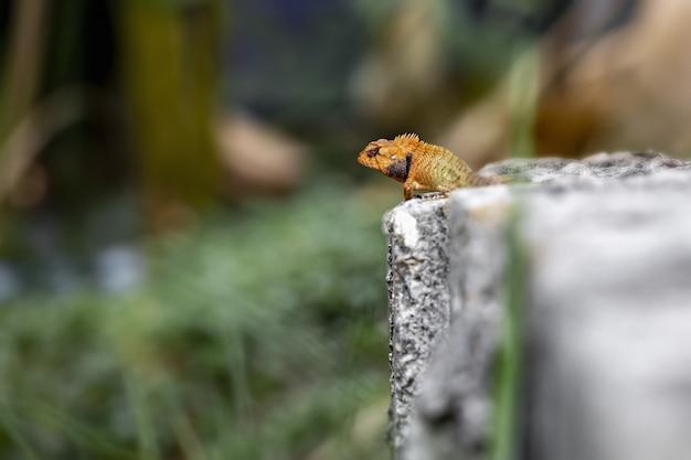 Rettile colorato seduto sulla roccia Foto Gratuite
