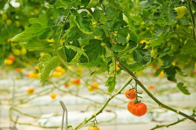 温室内で育つカラフルなトマト植物、近くで撮影。 無料写真