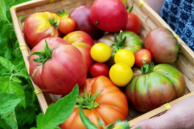 Разноцветные помидоры разных размеров и видов в саду Premium Фотографии