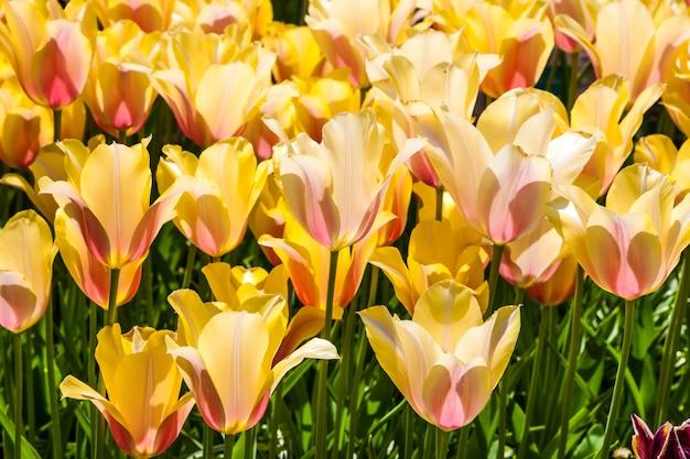 カラフルなチューリップがキューケンホフフラワーガーデン、リッセ、オランダ、オランダにクローズアップ 無料写真