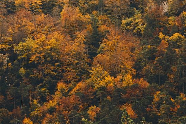 Красочный фон из сосен с золотыми и оранжевыми листьями atumun Premium Фотографии