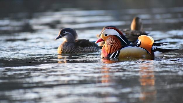 A colourful male mandarin duck. (aix galericulata) Free Photo