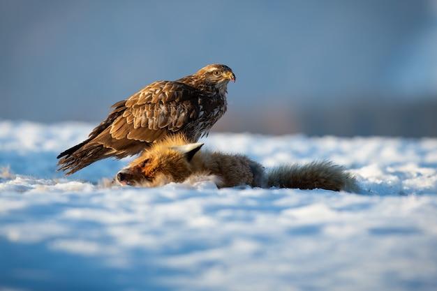 冬の自然の中で雪の上に座っている一般的なノスリ Premium写真