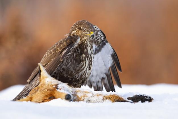 冬の雪の上で死んだキツネの隣に立っているノスリ Premium写真