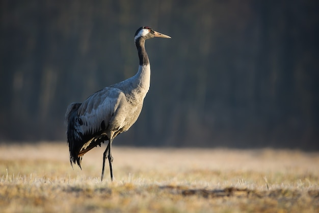 秋の自然の乾燥した牧草地を歩くクロヅル Premium写真