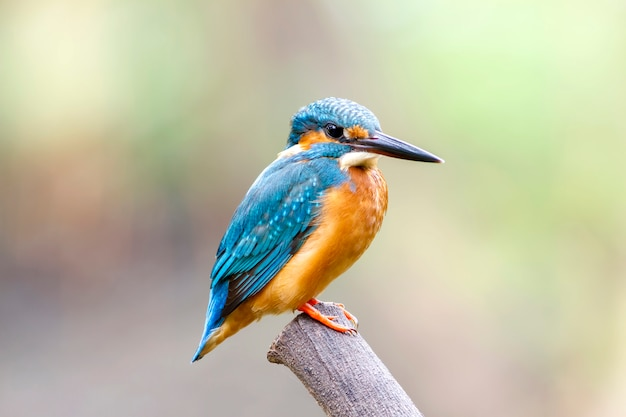 Common kingfisher with fish (alcedo atthis)  on branch in thailland Premium Photo