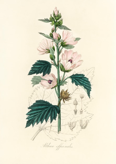 Common marshmallow (althea officinalis) illustration from medical botany (1836) Free Photo