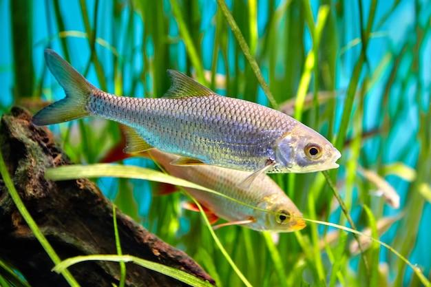 Common rudd is swimming underwater, freshwater fish, belongs to family of carp. Premium Photo