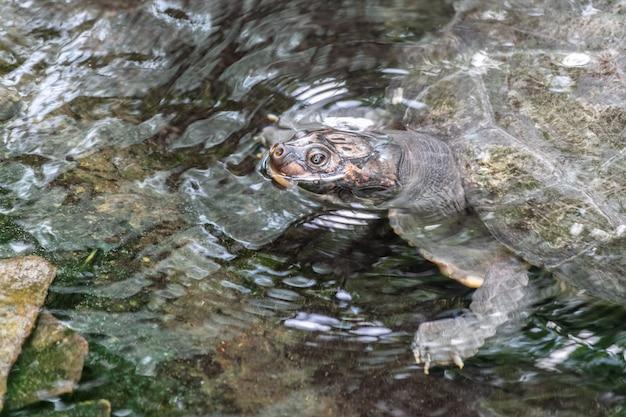 Tartaruga azzannatrice comune in un lago circondato da rocce e foglie sotto la luce del sole durante il giorno Foto Gratuite