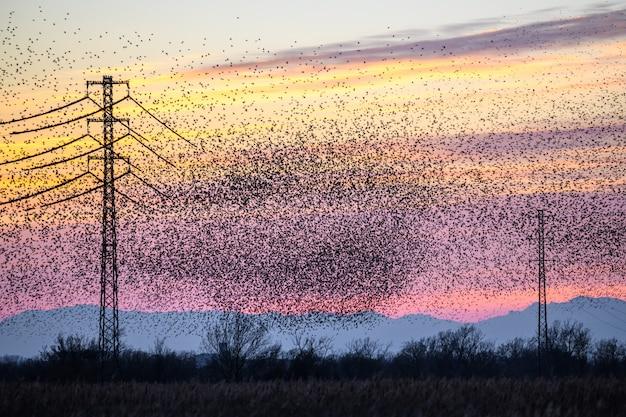 The common starling (sturnus vulgaris) flying in big groups on sunset Premium Photo