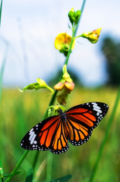 Common tiger butterfly Premium Photo