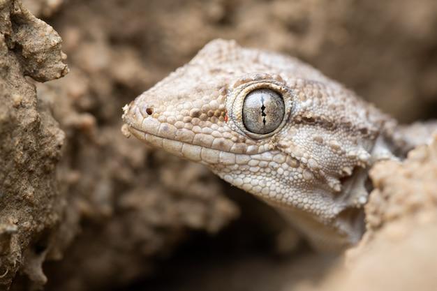 Common wall gecko (tarentola mauritanica) Premium Photo
