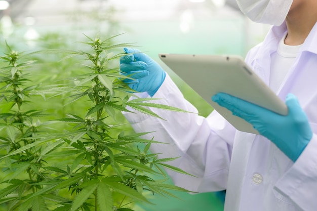 Concept of cannabis plantation for medical, close up of scientist using tablet to collect data on cannabis sativa indoor farm Premium Photo