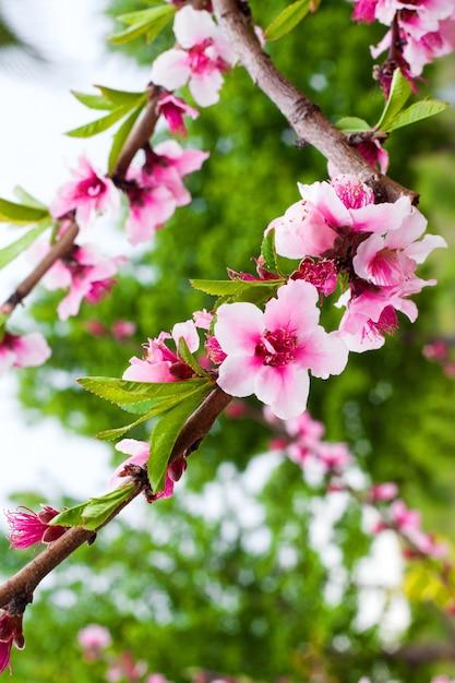 フラワーショップの広告用の花と芳香剤のフレグランスのコンセプト写真。緑豊かな庭園の壁に桜のクローズアップ。 Premium写真