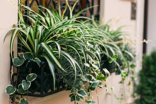 Coniferous branch in a pot on street. window decoration Premium Photo